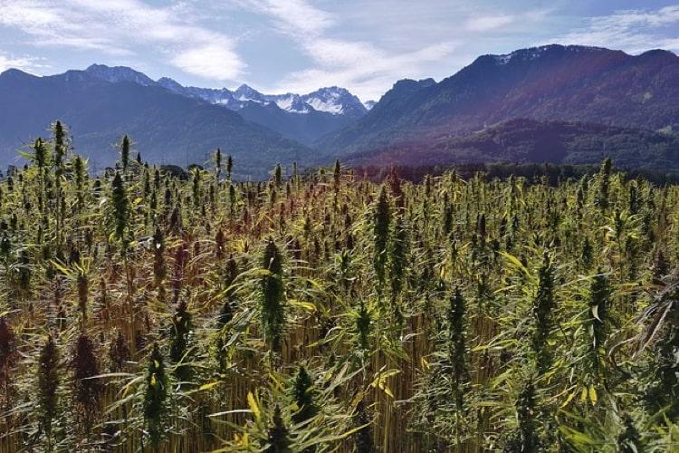Cannabis Blüten (CBD)