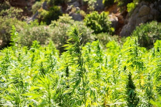 CBD aus Cannabis sativa Pflanze