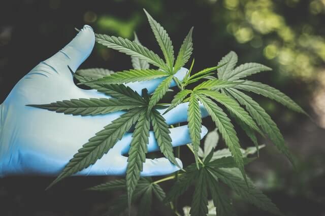 Unterschied zwischen Cannabisöl und CBD