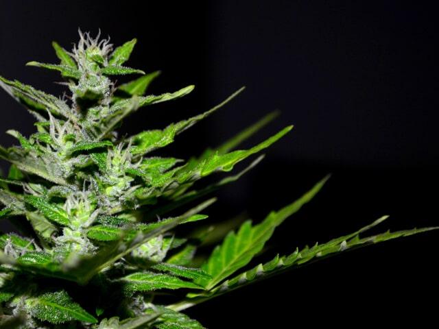 CBD aus Cannabis bedeutet nicht gleich Marijuana