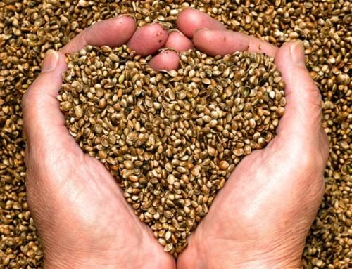 CBD Samen: Alles, was du dazu wissen musst