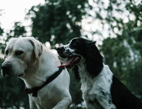 CBD Öl und Epilepsie beim Hund