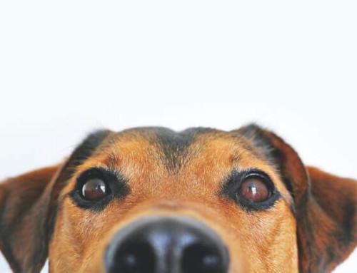 CBD Öl für den Hund bei Arthrose: Kann es hilfreich sein?
