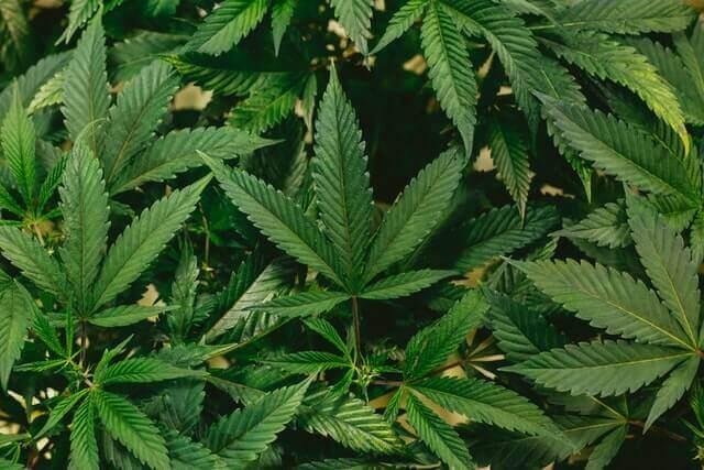 Die Cannabispflanze bietet vielseitige Einsatzmöglichkeiten