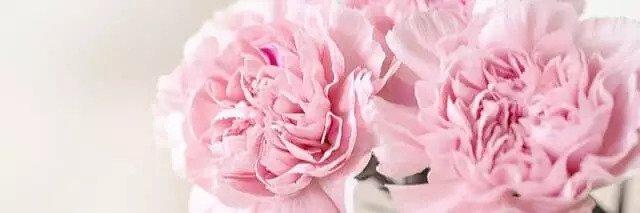 Nelke, Blume, Nelkenöl gegen Zahlschmerzen
