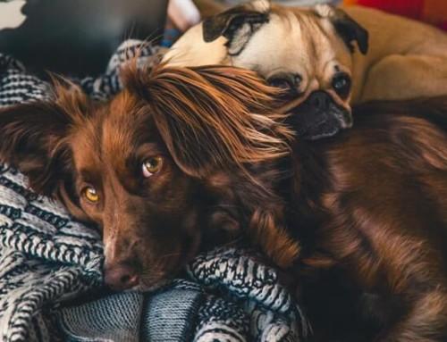 Cannabisöl für Hunde – die 5 wichtigsten Informationen für dein Tier