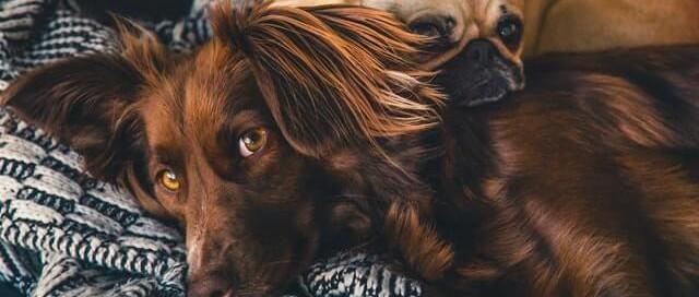 5 Tipps zur Anwendung von Cannabisöl für Hunde
