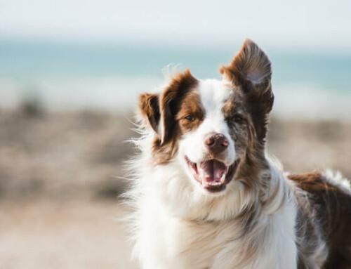 CBD Öl für den Hund – der Tierarzt und seine Rolle
